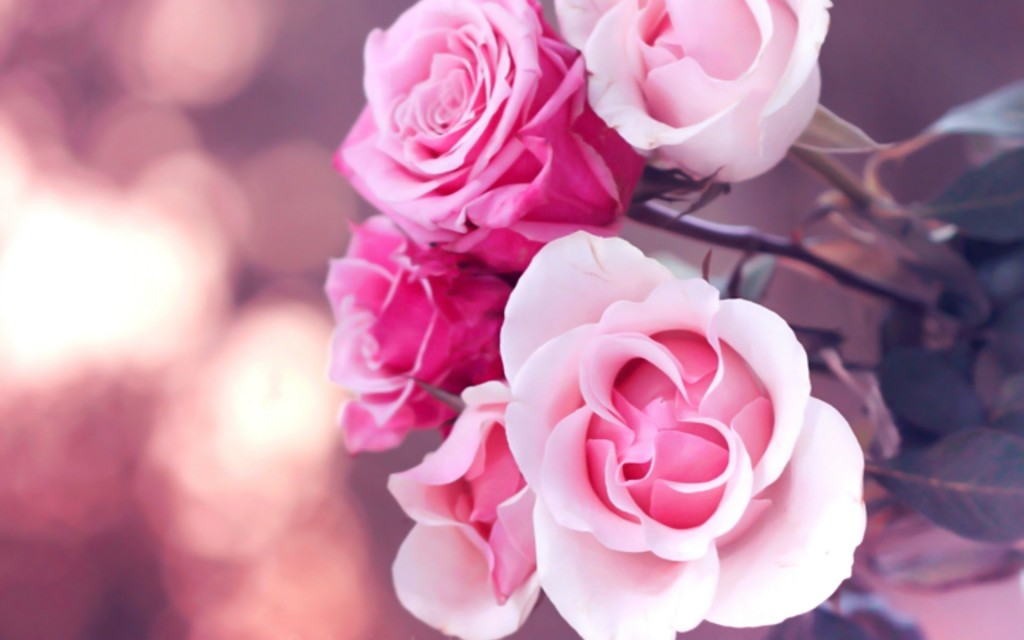 beautiful-pink-roses-wallpaper-23382-24033-hd-wallpapers