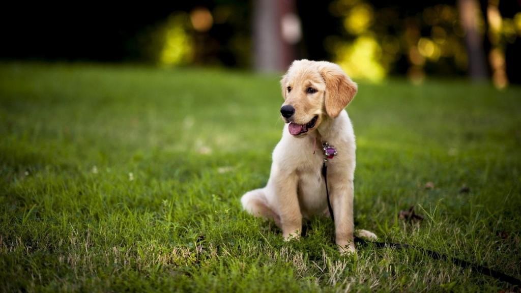 puppy-labrador-23507-24159-hd-wallpapers