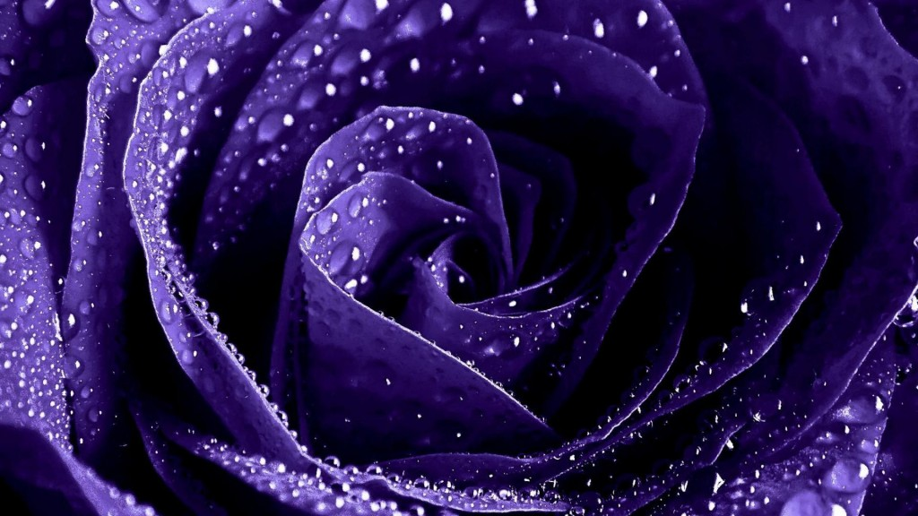 purple-roses-wallpaper-29513-30232-hd-wallpapers