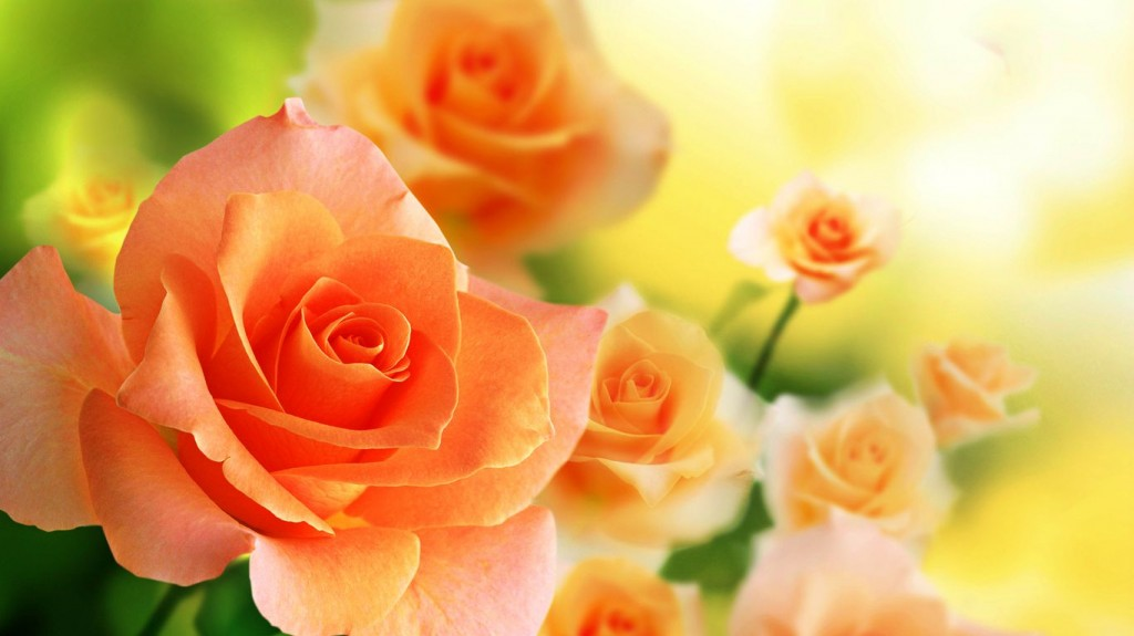stunning-orange-roses-29742-30461-hd-wallpapers
