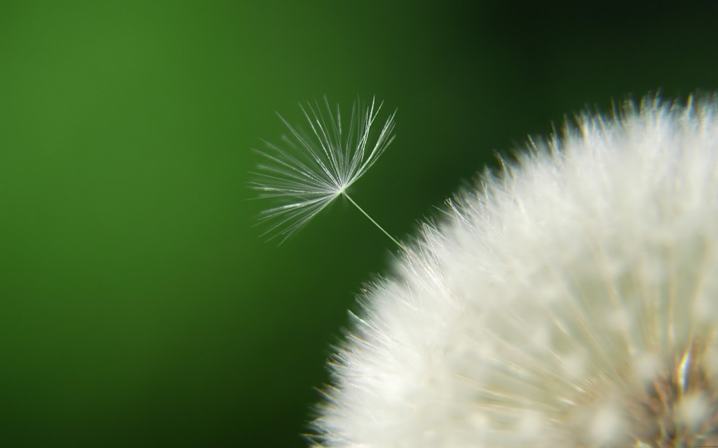 awesome-dandelion-seeds-wallpaper-42641-43652-hd-wallpapers