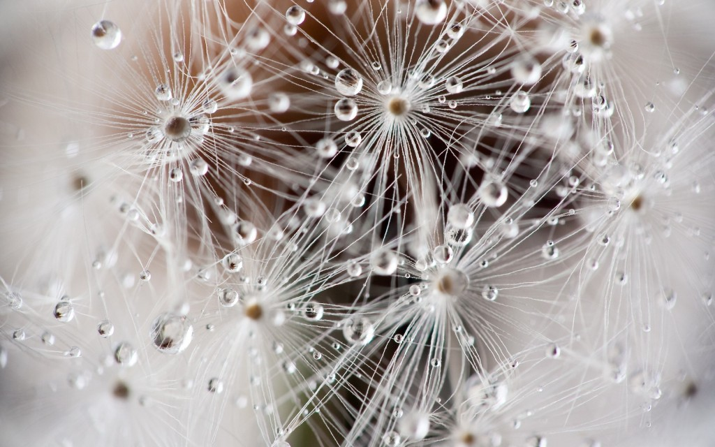 cool-dandelion-seeds-wallpaper-42643-43654-hd-wallpapers