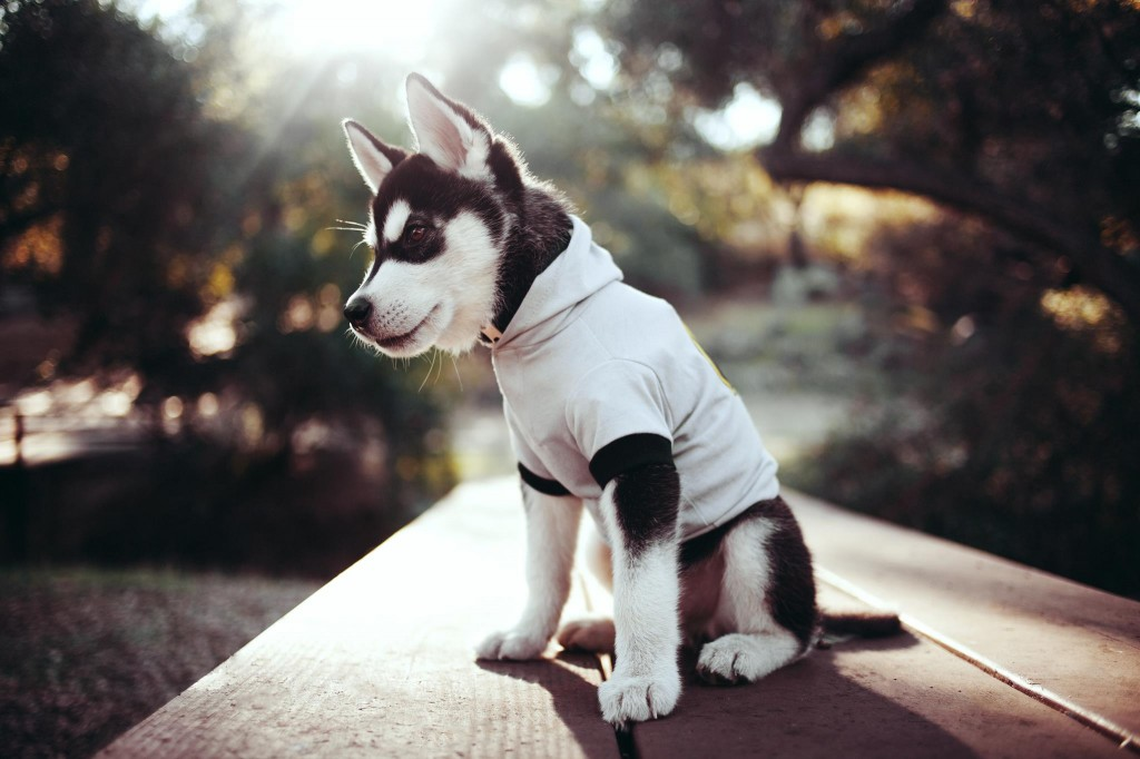 cute-siberian-husky-20784-21321-hd-wallpapers