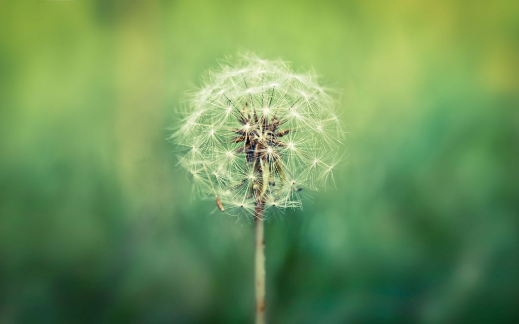 dandelion-wallpaper-21984-22540-hd-wallpapers