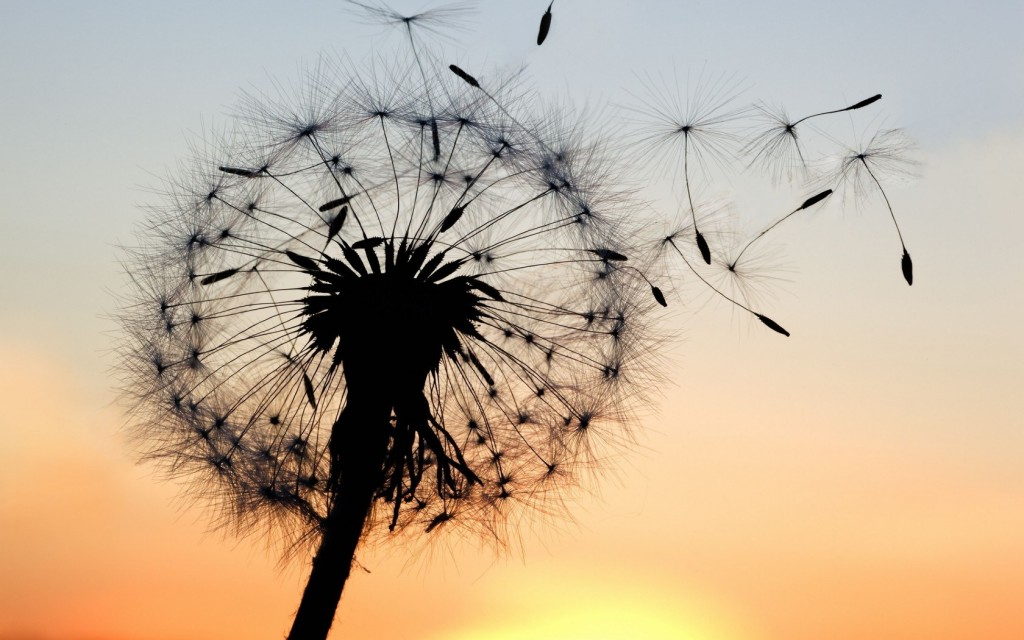 dandelion-wallpaper-21991-22547-hd-wallpapers