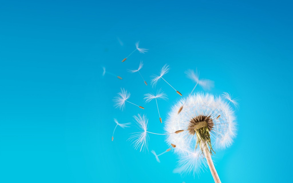 flying-dandelion-seeds-wallpaper-42644-43655-hd-wallpapers