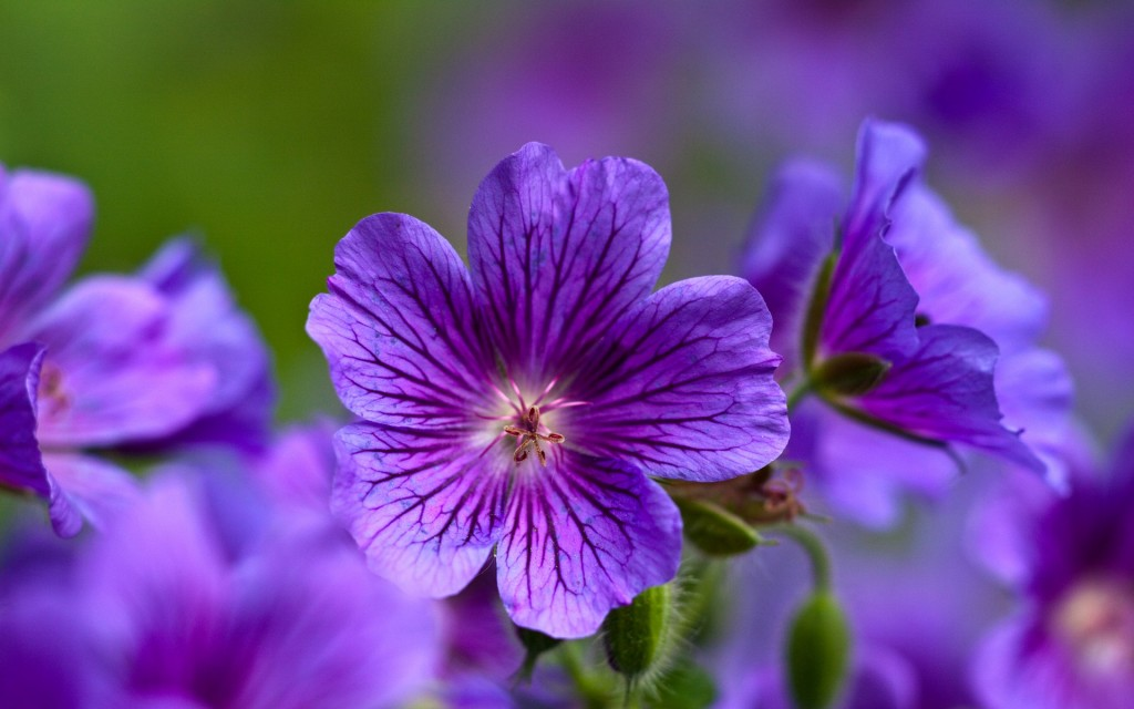 gorgeous-purple-macro-wallpaper-38009-38880-hd-wallpapers