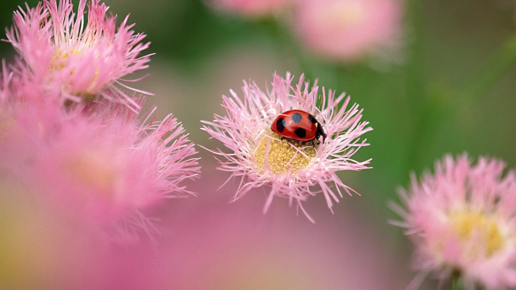 ladybugs-15639-16118-hd-wallpapers