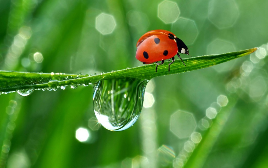 ladybugs-15647-16126-hd-wallpapers