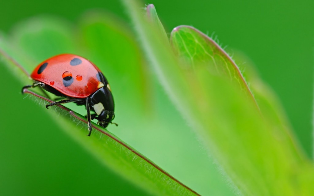 ladybugs-15652-16131-hd-wallpapers