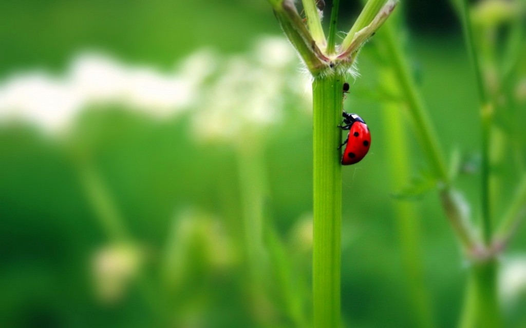 red-ladybug-wallpaper-43702-44772-hd-wallpapers