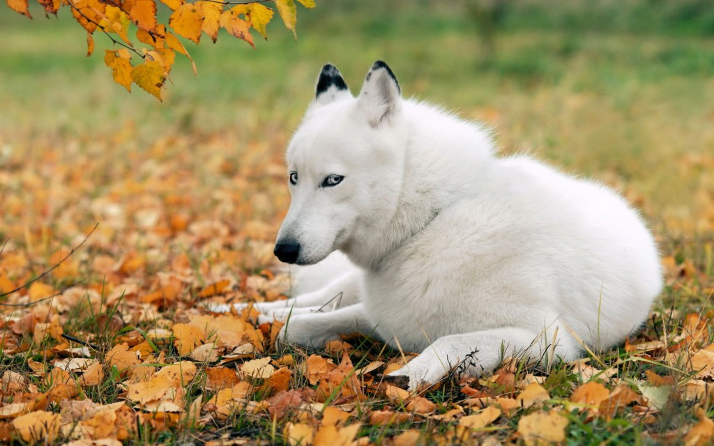 white-husky-wallpaper-39653-40570-hd-wallpapers