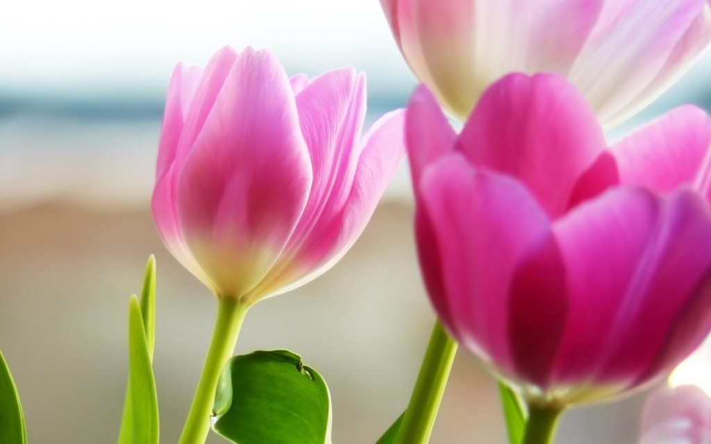beautiful-pink-tulips-22689-23305-hd-wallpapers