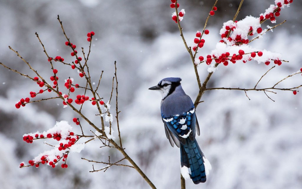 beautiful-snow-bird-wallpaper-38533-39413-hd-wallpapers