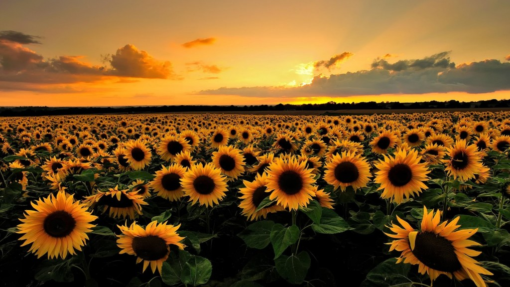beautiful-sunflower-field-wallpaper-32397-33142-hd-wallpapers