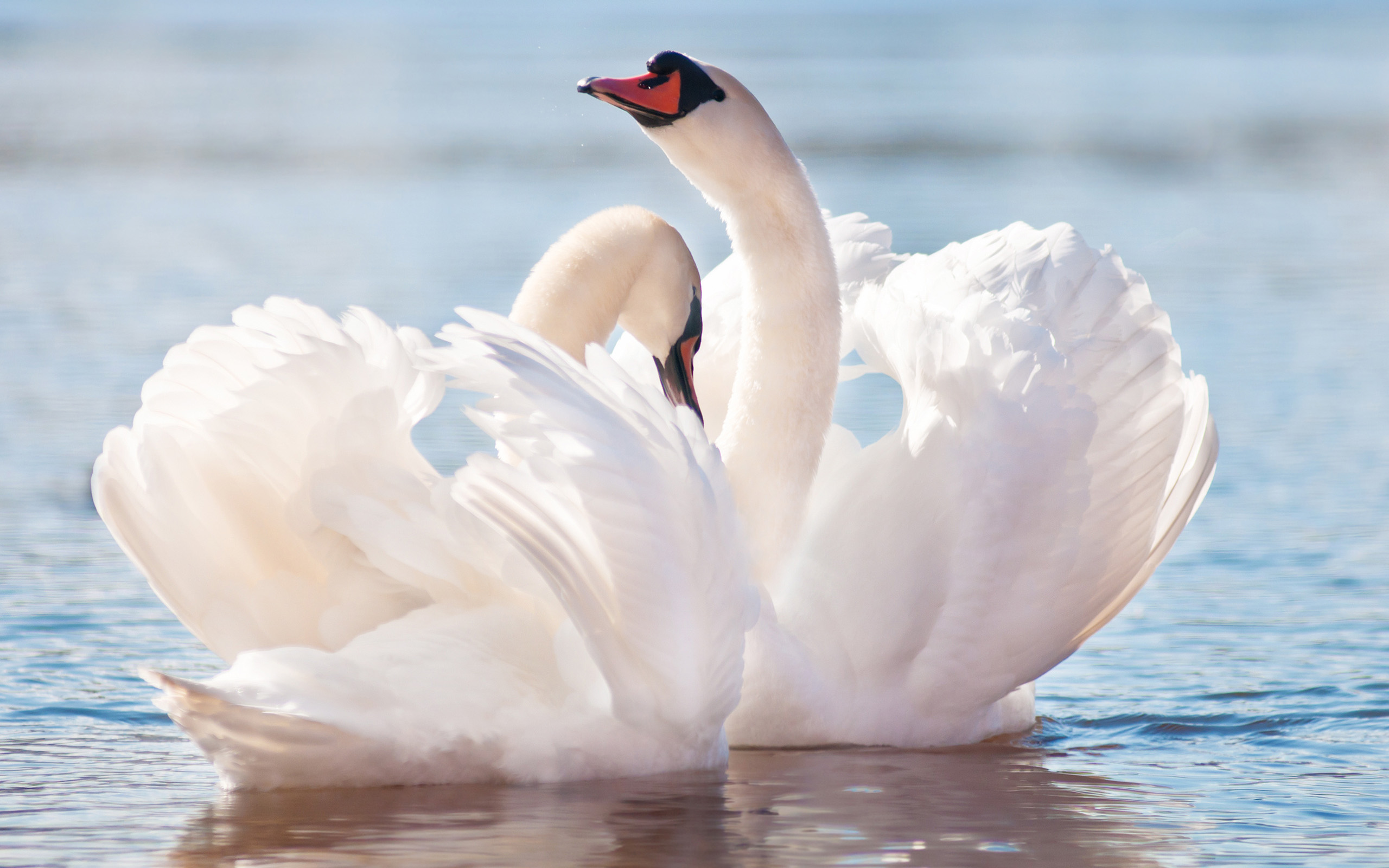 20 awesome hd animal wallpapers - Swan wallpapers for desktop ...
