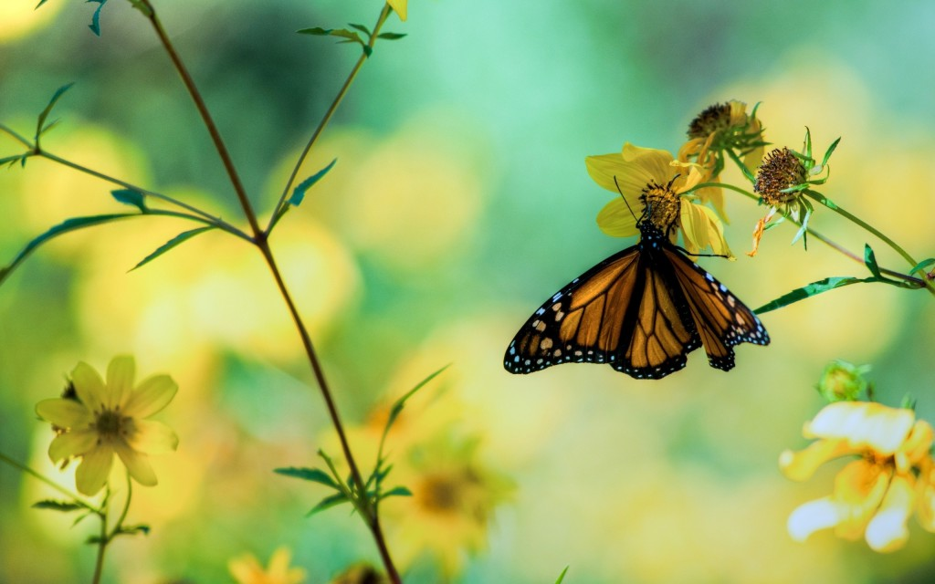 butterfly-wallpaper-hd-41047-42018-hd-wallpapers