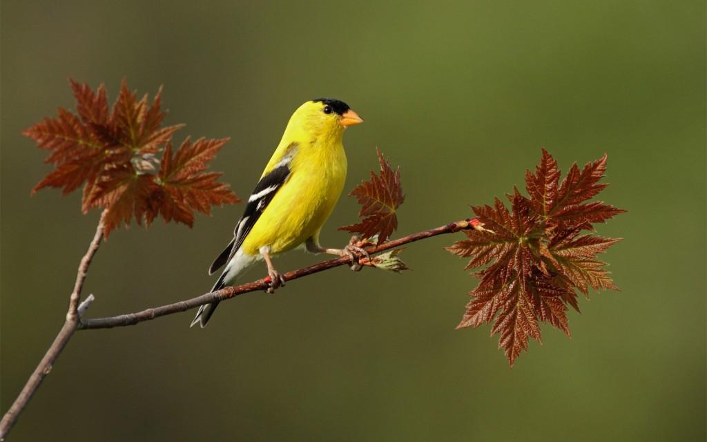 fantastic-yellow-bird-wallpaper-40088-41024-hd-wallpapers