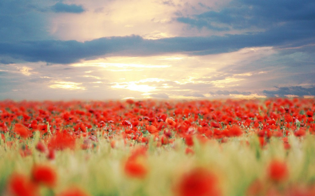 poppy-field-32148-32886-hd-wallpapers