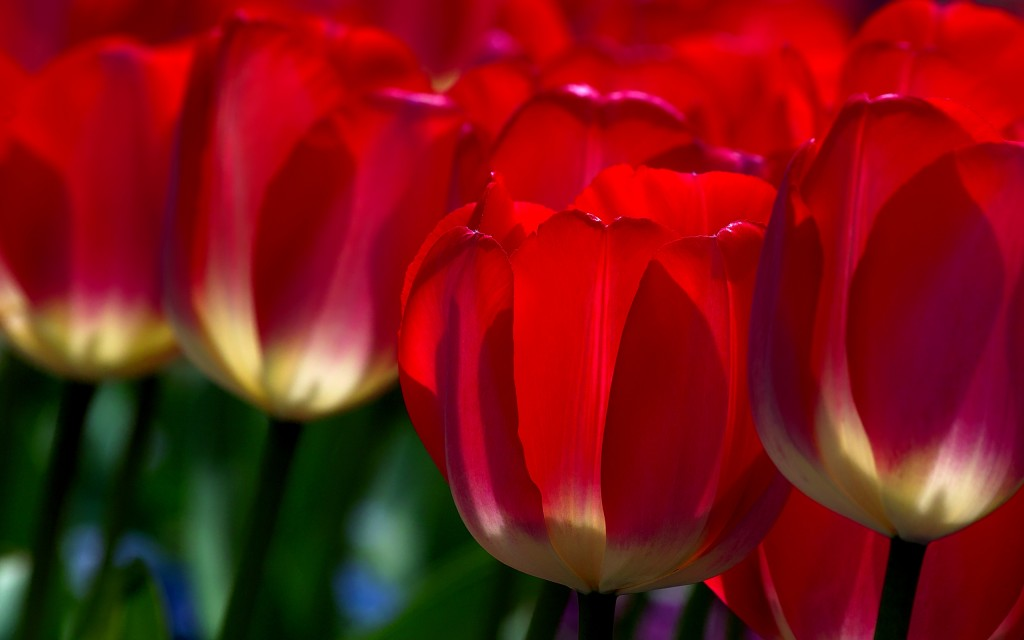 red-tulips-12642-13035-hd-wallpapers