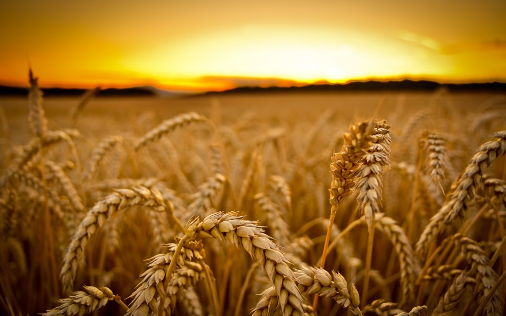 wheat-field-24069-24731-hd-wallpapers