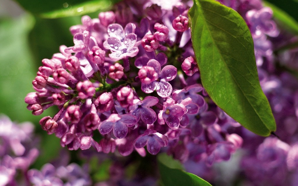 lilac-20201-20710-hd-wallpapers
