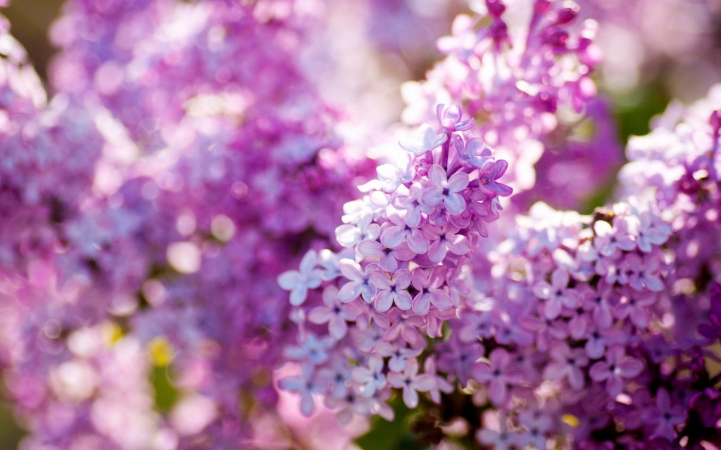 lilac-flowers-20190-20699-hd-wallpapers