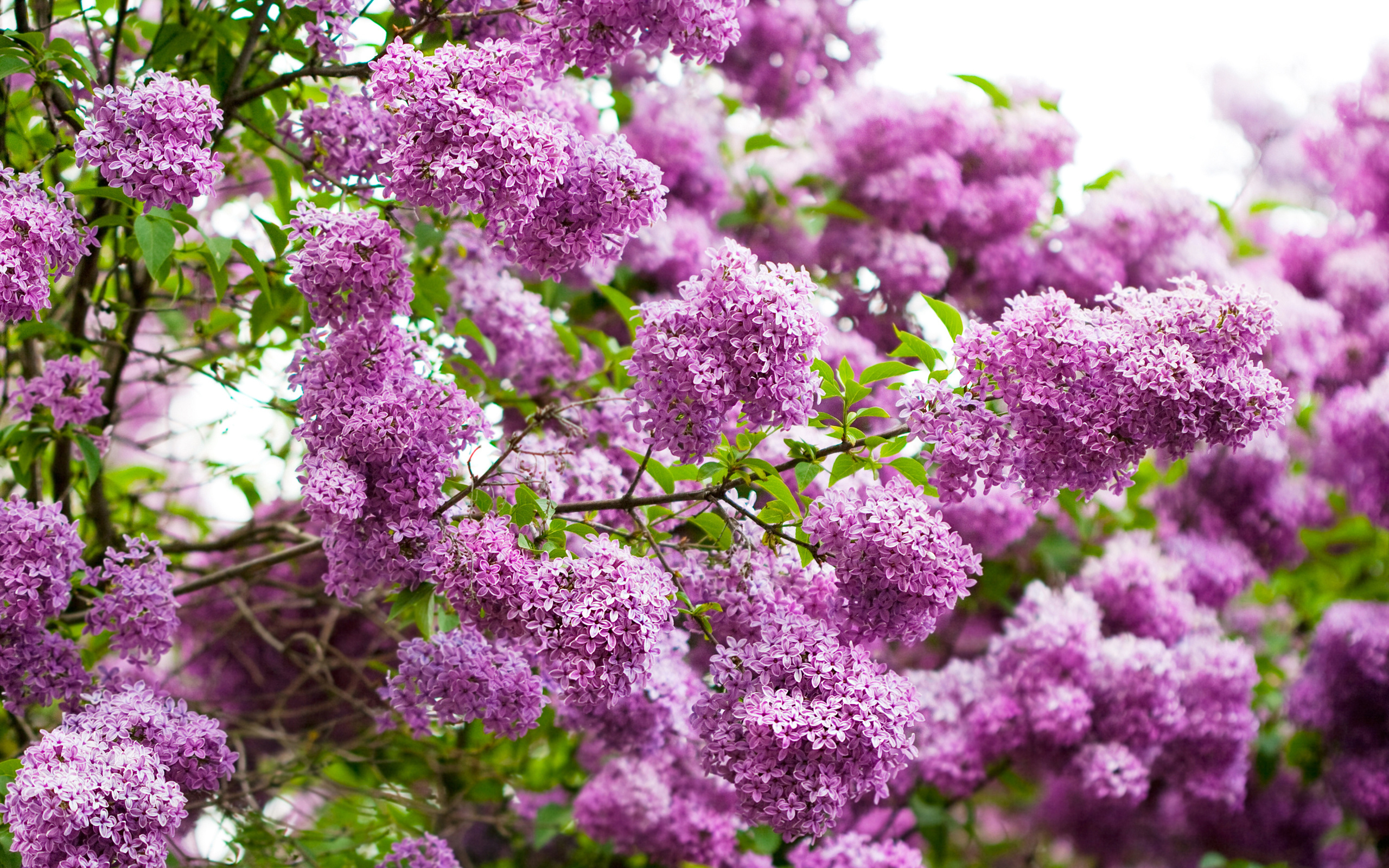10 Beautiful HD Lilac Wallpapers - HDWallSource.com
