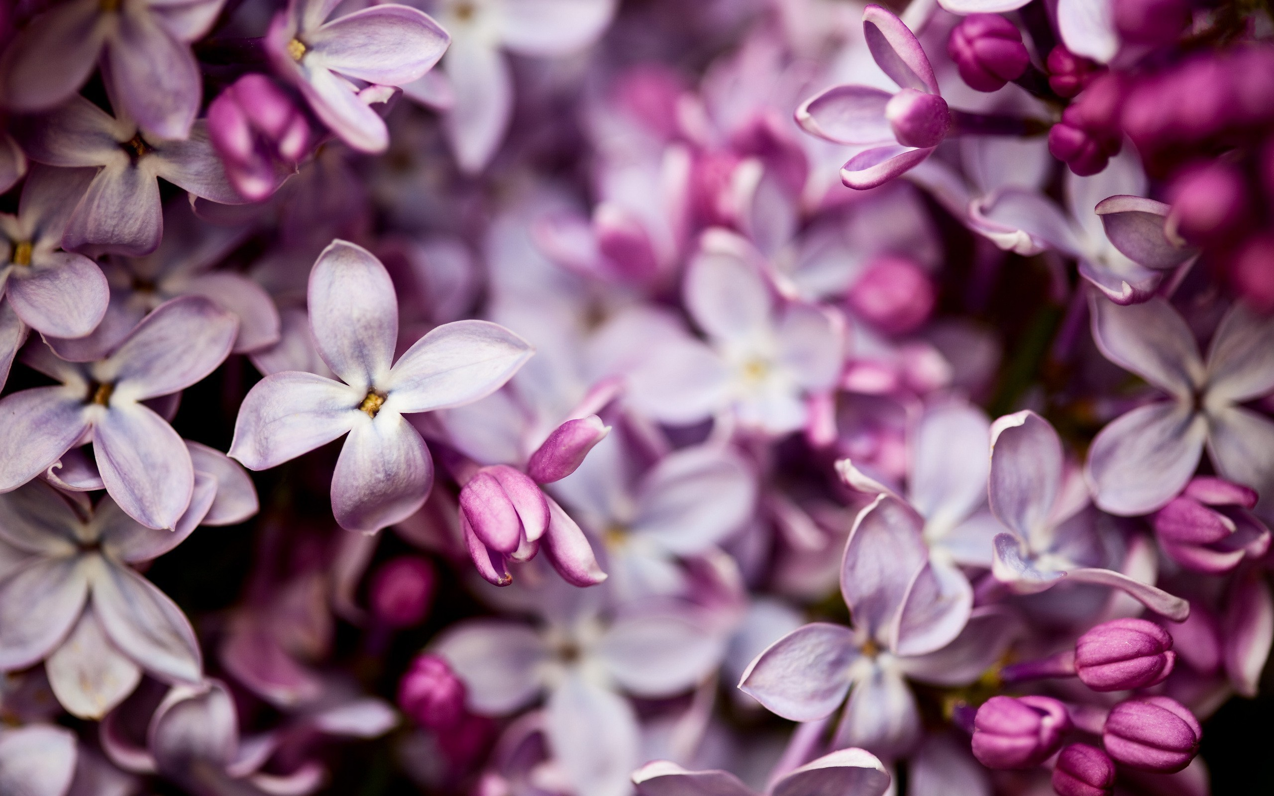 lilac flower wallpaper jpg - photo #27