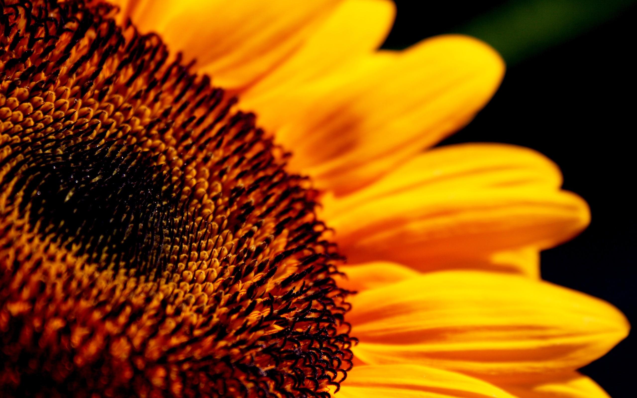 10 Lovely HD Sunflower Wallpapers - HDWallSource.com