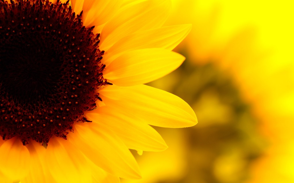 sunflower-wallpaper-16071-16559-hd-wallpapers
