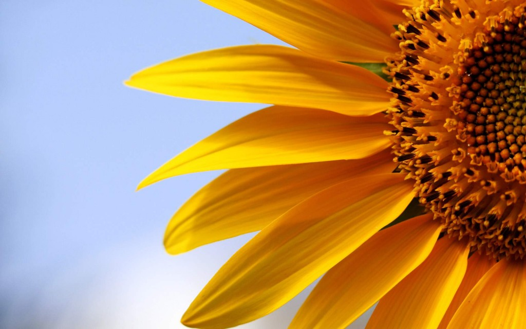 sunflowers-21578-22117-hd-wallpapers