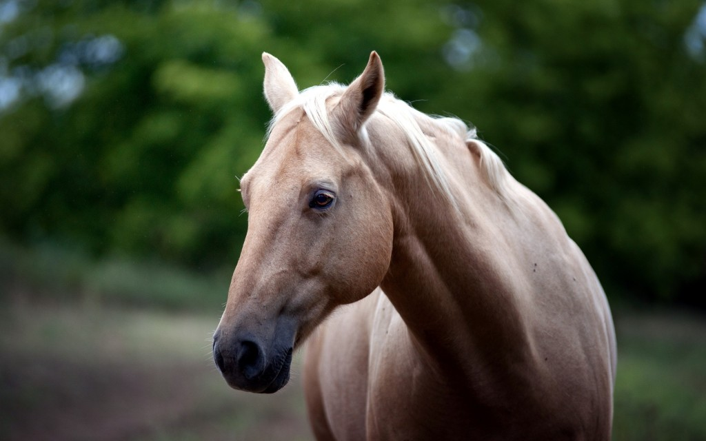 horse close up wallpapers