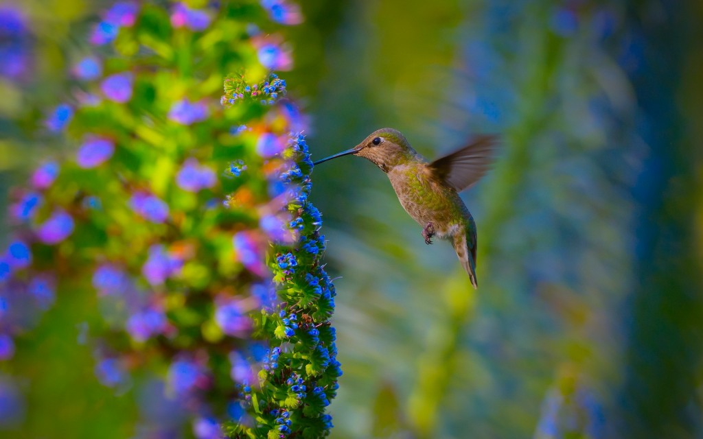 beautiful-hummingbird-wallpaper-44027-45125-hd-wallpapers