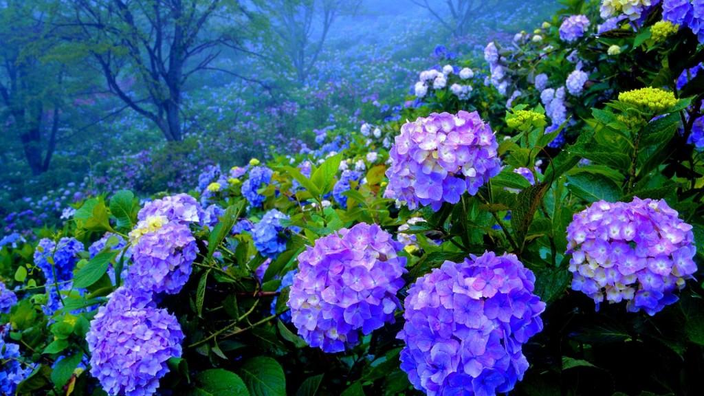 beautiful-hydrangea-wallpaper-25705-26387-hd-wallpapers