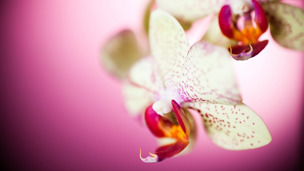 beautiful-orchid-wallpaper-24543-25213-hd-wallpapers