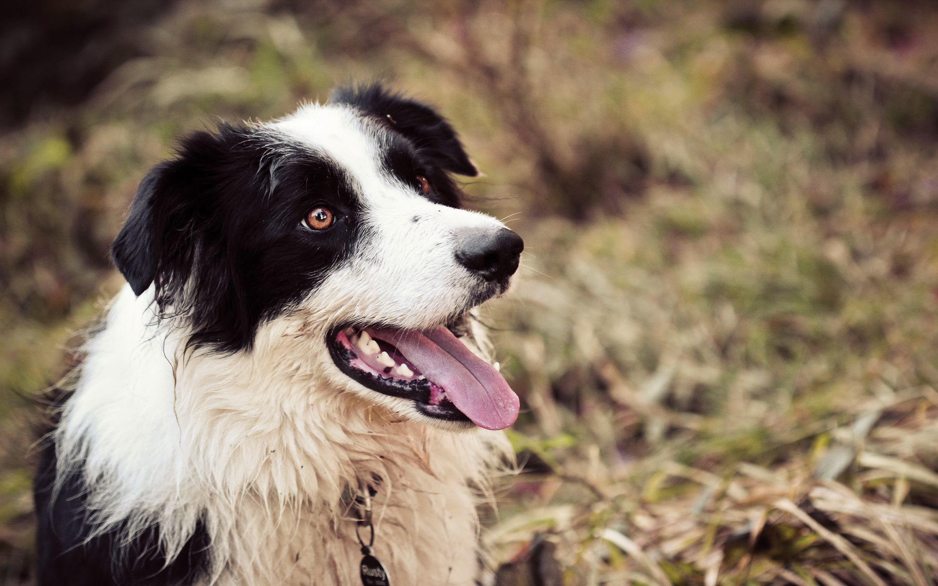 73 border collie hd - photo #11