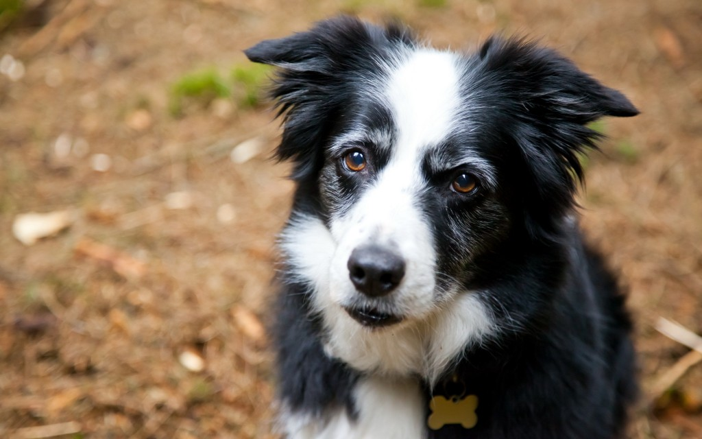 border-collie-dog-wallpaper-49311-50977-hd-wallpapers