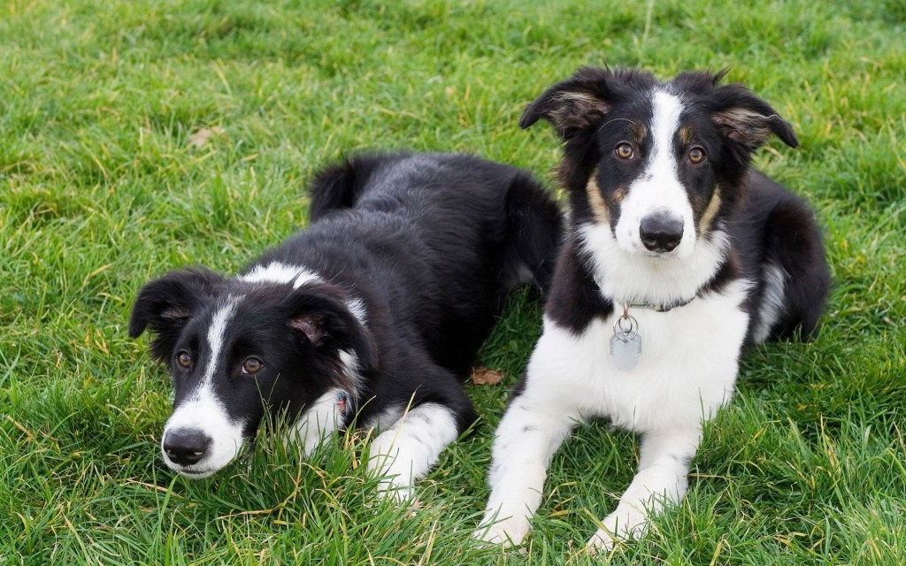 border-collie-dogs-wallpaper-49313-50979-hd-wallpapers