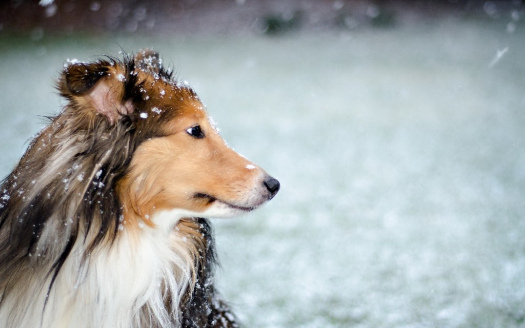 collie-wallpaper-43482-44534-hd-wallpapers