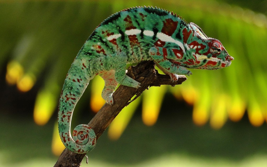 chameleon-23636-24290-hd-wallpapers