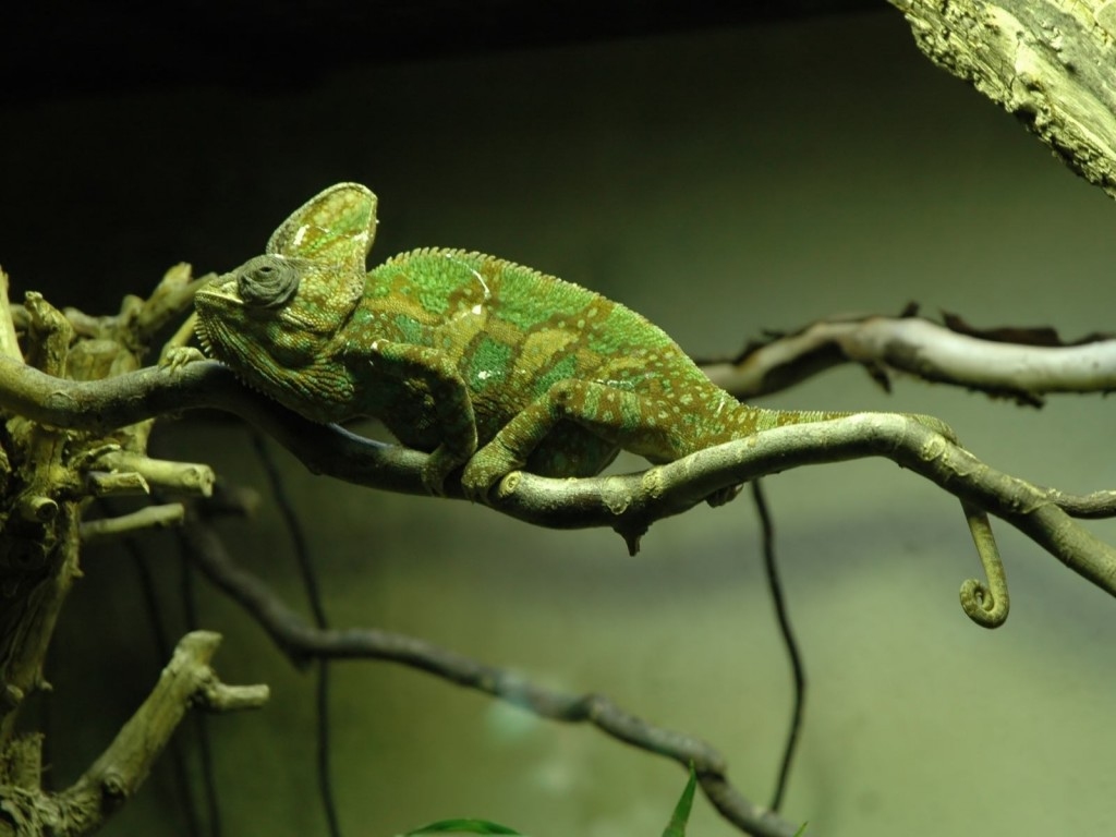 chameleon-computer-wallpaper-49115-50773-hd-wallpapers