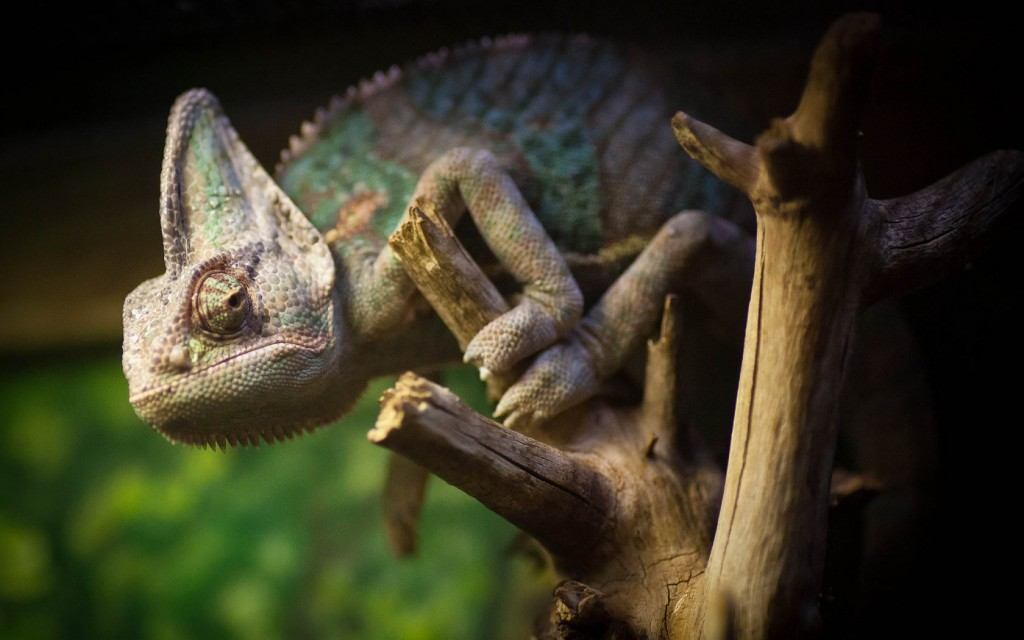 chameleon-reptile-computer-wallpaper-49119-50777-hd-wallpapers