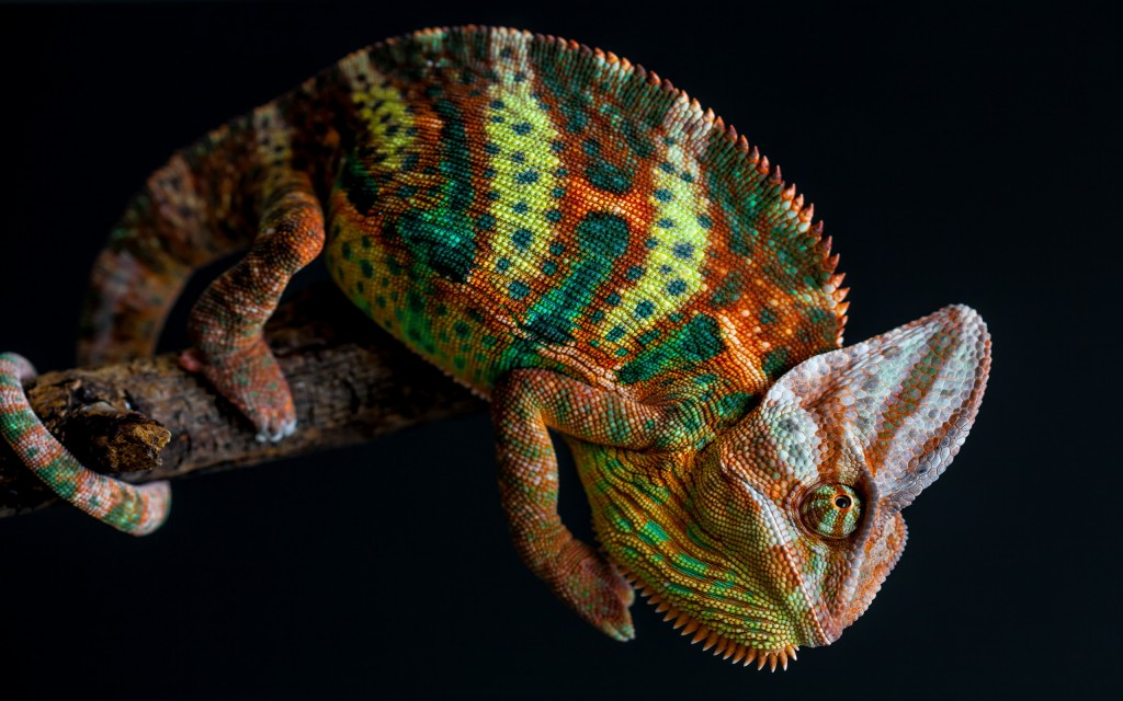 chameleon-wallpaper-23629-24283-hd-wallpapers