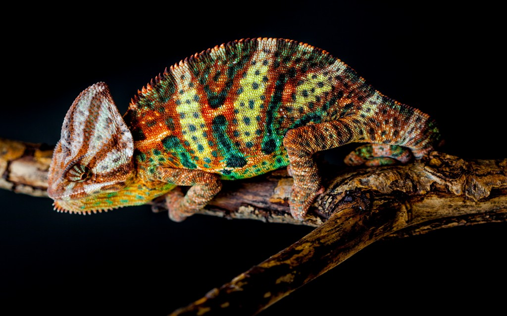 chameleon-wallpaper-23633-24287-hd-wallpapers