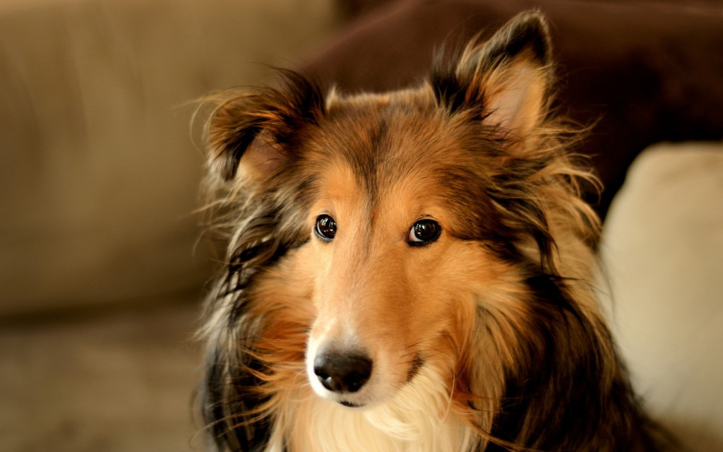 collie-dog-desktop-wallpaper-hd-49305-50971-hd-wallpapers