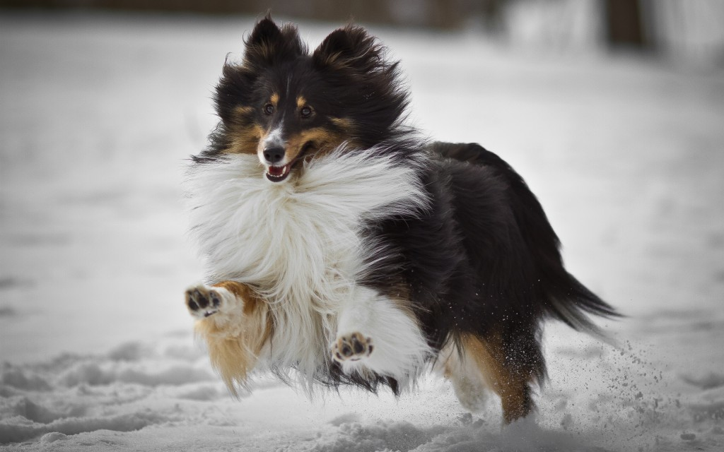 collie-dog-running-wallpaper-49304-50970-hd-wallpapers
