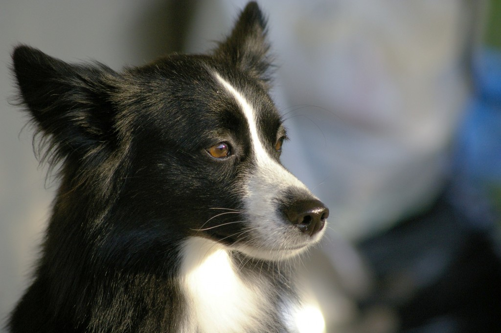 collie-dog-wallpaper-pictures-49307-50973-hd-wallpapers