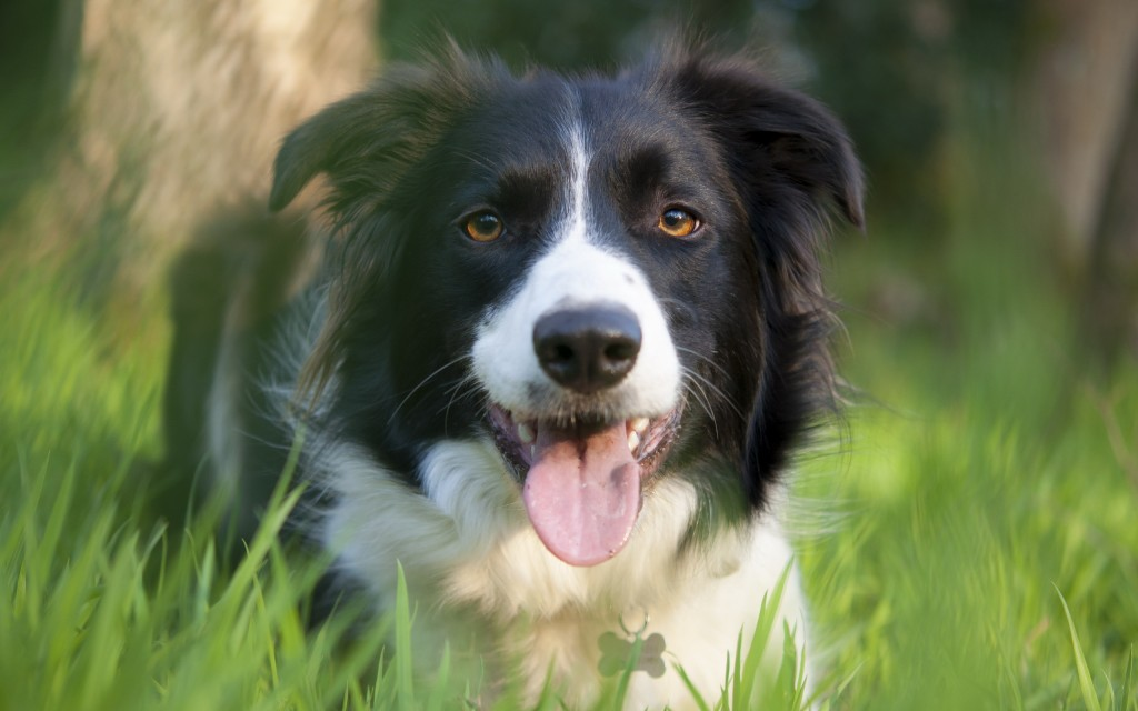collie-dog-wide-wallpaper-49301-50967-hd-wallpapers