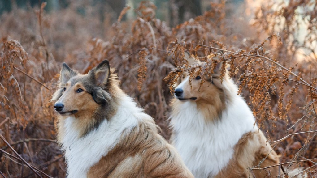 collie-dogs-desktop-wallpaper-hd-49312-50978-hd-wallpapers
